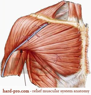 Анатомия на човека - детайли за мускулни фибри и тренировъчен режим, който обезводнява качествено и изгражда тъкан за добър обем